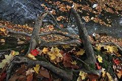 Boomwortels over een kreek in Cleveland Metroparks in werking dat worden gesteld dat stock afbeelding
