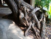 Boomwortels, Prinses Mother Memorial Park, Bangkok, Thailand stock foto's