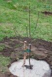 Boomzaailing in grond wordt geplant die Stock Fotografie