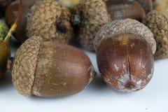 Boomzaden genoemd een eik op een witte lijst De eikels stapelden volgende t stock afbeelding