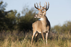 Boone and Crockett drop tine buck. A Boone and Crockett whitetail buck stands on alert with head turned to side Stock Images