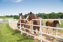 Boonville, MO - May 30, 2017: A group of mares and young Clydes. A group of mares and young Clydesdales at Anheuser-Busch`s Clydesdale breeding farm royalty free stock image