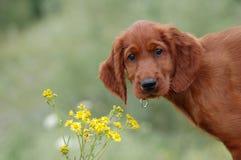 boony λουλούδι Στοκ φωτογραφίες με δικαίωμα ελεύθερης χρήσης