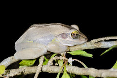 Boophis doulioti, kirindy. Boophis doulioti portrait, kirindy, madagascar Royalty Free Stock Photography