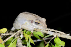 Boophis doulioti, kirindy Royalty Free Stock Photography