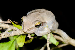 Boophis doulioti, kirindy. Boophis doulioti portrait, kirindy, madagascar Royalty Free Stock Images