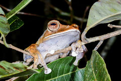 Boophis madagascariensis, andasibe Royalty Free Stock Photos