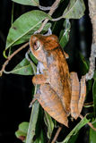 Boophis madagascariensis, andasibe Stock Image