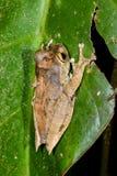 Boophis madagascariensis, ranomafana Stock Images