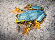Boophis tree frog of Madagascar Stock Images