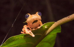 Boophis tree frog of Madagascar Stock Photos