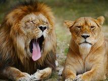 Boos leeuwpaar stock foto's