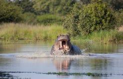 Boos nijlpaard, het Nationale Park van Kruger Stock Foto's
