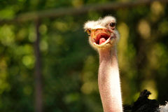 Boos struisvogelgezicht Stock Foto