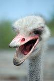 Boos struisvogelhoofd met een vuile open bek Stock Afbeeldingen