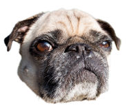Boos van pug hond royalty-vrije stock foto's
