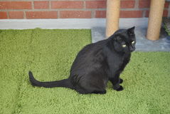 Boost on our balcony. Black cat sitting on a green rug out on a balcony with bricks and the lower part of a scratch furniture in the background stock images