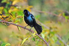 Boot angebundenes grackle Stockbild