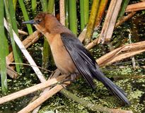 Boot-angebundenes grackle (Quiscalusmajor) Lizenzfreie Stockbilder