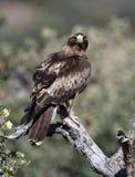 Booted орел наблюдает от своей сторожевой башни в сельской местности стоковое изображение