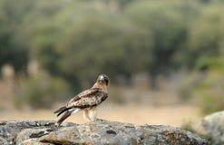 booted орел стоковые фотографии rf
