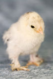 Booted bantam chicken Royalty Free Stock Photo