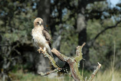 Booted eagle Royalty Free Stock Photography