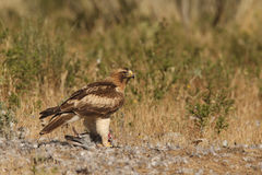 Booted Eagle Stock Photos