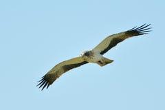 The Booted Eagle (Aquila pennata) Royalty Free Stock Image