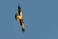The Booted Eagle (Aquila pennata) Stock Photography