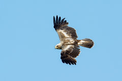 The booted eagle Aquila pennata Royalty Free Stock Images