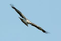 The booted eagle Aquila pennata Stock Photos