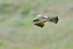 The Booted Eagle (Aquila pennata) Stock Photography