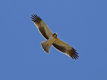 Booted Eagle Stock Photography