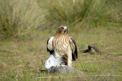 Booted eagle with a dove Royalty Free Stock Image