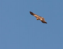 A Booted Eagle in fast flight Stock Photography