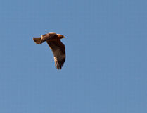 A Booted Eagle in flight Stock Image