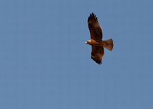 A Booted Eagle hovering in a blue sky Stock Image