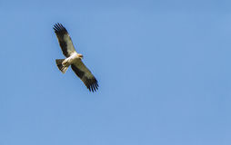 A Booted Eagle hovering in a blue sky Stock Photo
