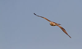 A Booted Eagle hovering in a blue sky Royalty Free Stock Photography