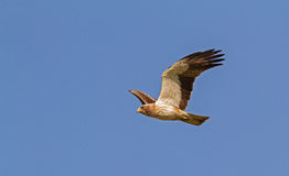 A Booted Eagle hovering in a blue sky Stock Photography