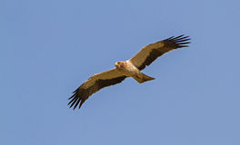 A Booted Eagle hovering in a blue sky Stock Images