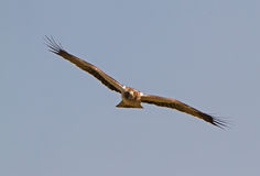 A Booted Eagle hovering in a blue sky Royalty Free Stock Photos