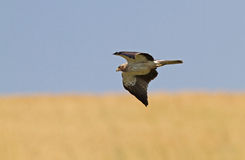 A Booted Eagle hovering in a blue sky Royalty Free Stock Images
