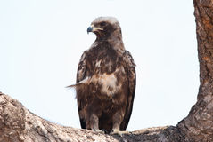 Booted Eagle portrait Stock Image