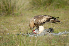 Booted eagle prey eaten in the field Royalty Free Stock Images