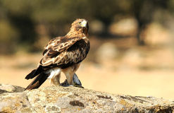 Booted eagle with prey in its claws Stock Images