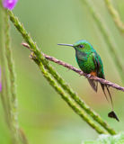The Booted Racket-Tail Hummingbird. The tip of the long tail feathers of the Booted Racket-Tail (Ocreatus underwoodii) have a strange and characteristic form Stock Images
