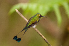 Booted Racquet-Tail. Male perched on a limb, close up, ready to display in Ecuador Stock Image
