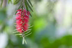 Bottle brush tree,Callistemon tree isolated Royalty Free Stock Images